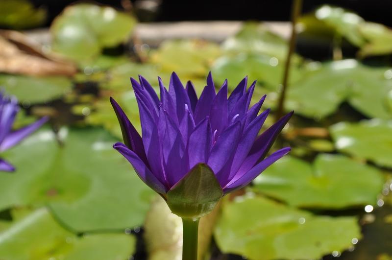 ロータス 紫